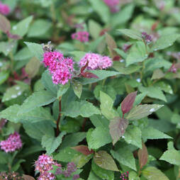 Spiraea japonica 'Green and Gold'
