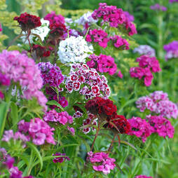 Sweet William 'Bright Eyes'