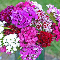 Sweet William 'Messenger'