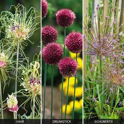 Allium 'Hairy Collection'