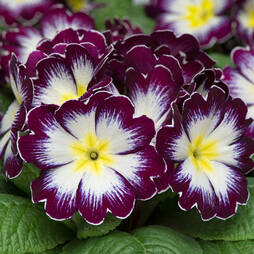 Primrose 'Blackberry Crush'