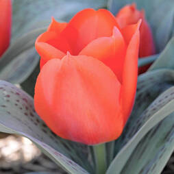 Tulip 'Giant Orange Sunset'