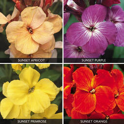 Wallflower 'Sunset Quartet Collection'
