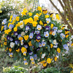 Pansy 'Cool Wave' (Pre-planted Hanging Basket)