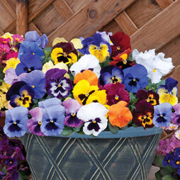 Pansy 'Matrix Mix' (Pre-planted Patio Pot)