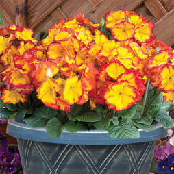 Polyanthus 'Firecracker' (Pre-planted Patio Pot)