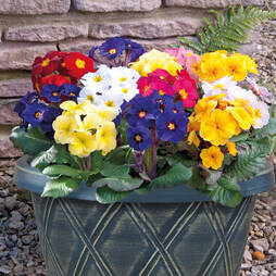 Polyanthus 'Stella' (Pre-planted Patio Pot)