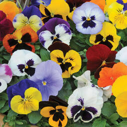 Pansy 'Matrix Mix' (Pre-planted Hanging Basket)