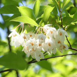 Styrax 'Fragrant Fountain'