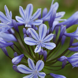 Agapanthus 'Sweet Surprise'