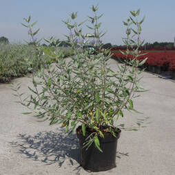 Caryopteris x clandonensis 'Ferndown'