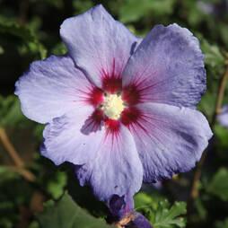 Hibiscus syriacus 'Azurri'