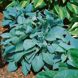 Hosta 'Fragrant Blue'
