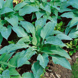 Hosta 'Blue Angel'
