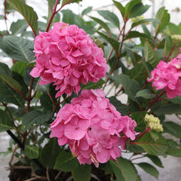 Hydrangea macrophylla 'Endless Summer Bloomstruck'