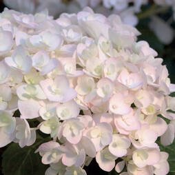 Hydrangea macrophylla 'Endless Summer Blushing Bride'