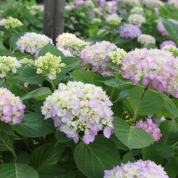 Hydrangea macrophylla 'Endless Summer The Original'