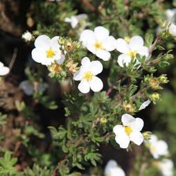 Potentilla fruticosa 'White Lady'