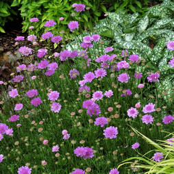 Scabious 'Vivid Violet'