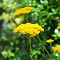 Achillea filipendulina 'Cloth of Gold'