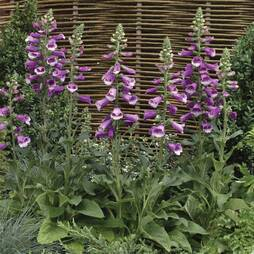 Foxglove 'Dalmation Purple'