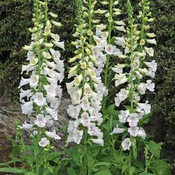Foxglove 'Dalmation White'