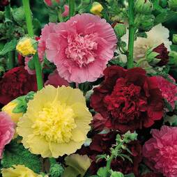 Hollyhock 'Chater's Double Mixed' (Large Plant)