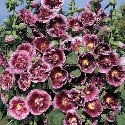 Hollyhock 'Cr'me de Cassis'