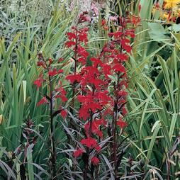 Lobelia cardinalis 'Queen Victoria' (Large Plant)