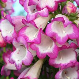 Penstemon 'Pensham Laura'