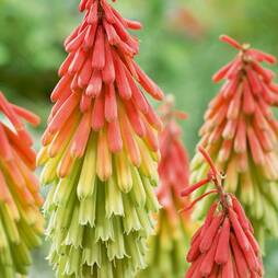 Red Hot Poker 'Traffic Lights'
