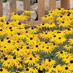 Rudbeckia fulgida var. sullivantii 'Goldsturm' (Large Plant)