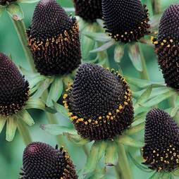 Rudbeckia occidentalis 'Green Wizard'