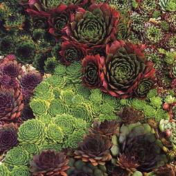Sempervivum 'Mixed'