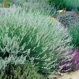 Lavender x intermedia 'Edelweiss'