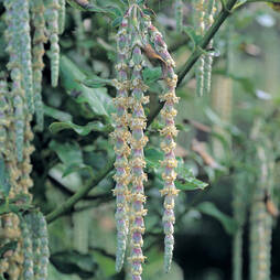Silk Tassel bush