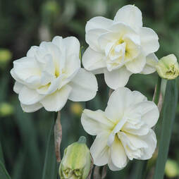 Daffodil 'Rose of May'