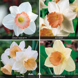 Daffodil 'Pink Blush Collection'