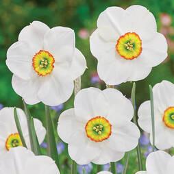 Daffodil 'Sagana'