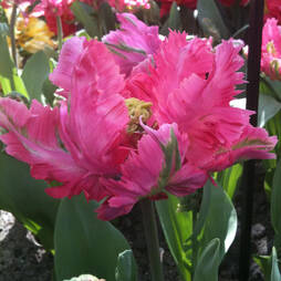 Tulip 'Diamond Parrot'