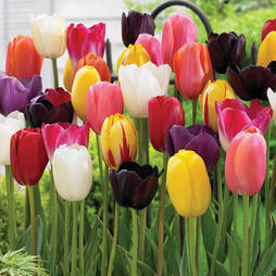 Tulip 'Everlasting' Mixture