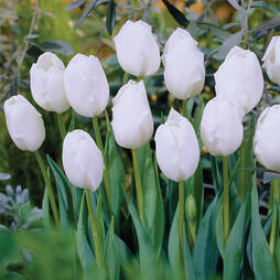 Tulip 'Snowstar'