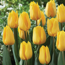 Tulip 'Yellow Flight'
