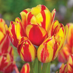 Tulip 'Wonder Club'