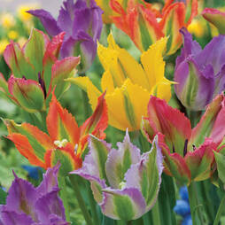 Tulip 'Frilly Fiesta Mixed'