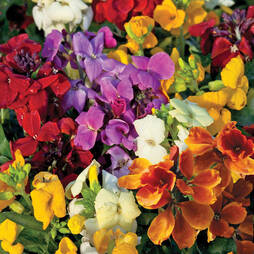 Wallflower 'Dwarf Scented Mixed'