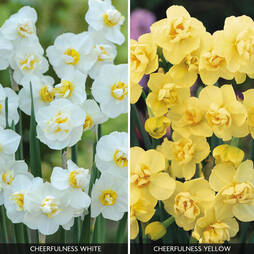 Daffodil 'Cheerfulness Duo'