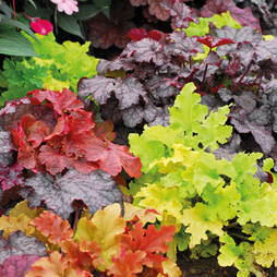 Heuchera Lucky Dip Collection