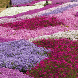 Phlox Mixed (Creeping)