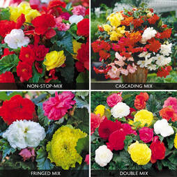 Begonia Bumper Collection